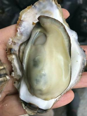 这是一张关于太平洋牡蛎 人工殖养 3-4两/只 的产品图片