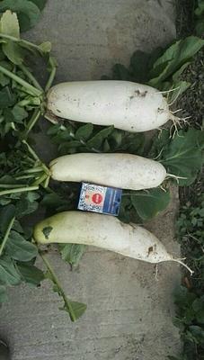 广西壮族自治区钦州市钦南区白萝卜 1.5~2斤