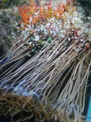 这是一张关于大红袍李子苗 的产品图片