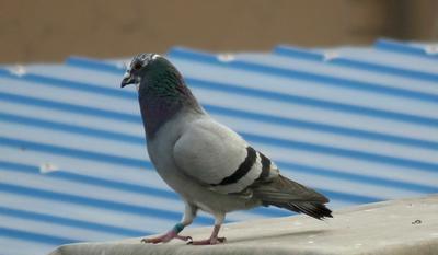 这是一张关于土鸽子 400-500克 的产品图片