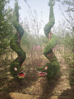 河南省许昌市鄢陵县小叶女贞造型树