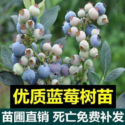 山东省临沂市平邑县蓝宝石蓝莓苗