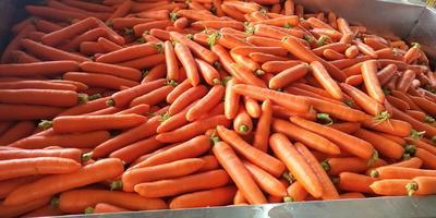 这是一张关于三红七寸参胡萝卜 的产品图片