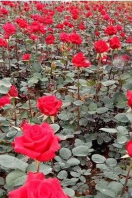 这是一张关于切花玫瑰 的产品图片