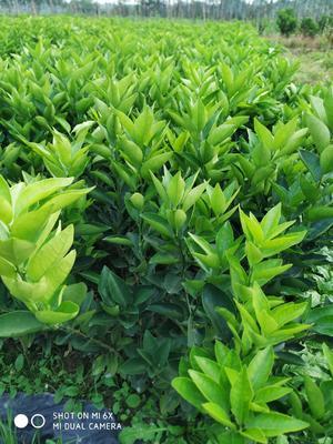 这是一张关于夏橙树苗 嫁接苗 0.5米以下 的产品图片