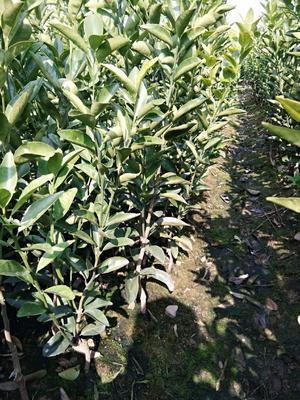 这是一张关于茂谷柑苗 嫁接苗 0.35~0.5米 的产品图片