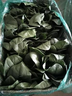 山东省青岛市黄岛区越冬菠菜 20~25cm
