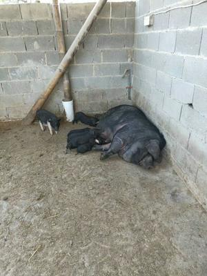 这是一张关于环江山猪 母 80斤以上 的产品图片
