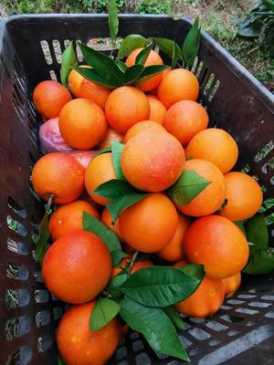 这是一张关于玫瑰香橙 55 - 60mm 4-8两 的产品图片