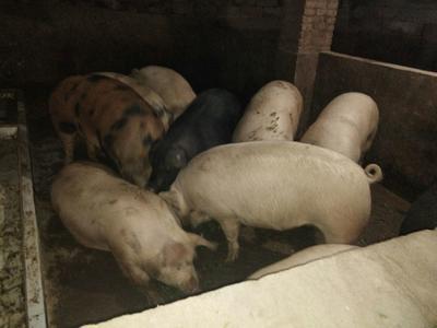 重庆南川区杜洛克猪 200-300斤