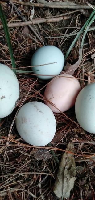 芦花鸡蛋 食用 礼盒装