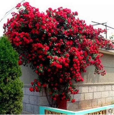 这是一张关于蔷薇苗 的产品图片