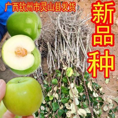 苹果枣苗 产量高,种一年投产,果大好吃