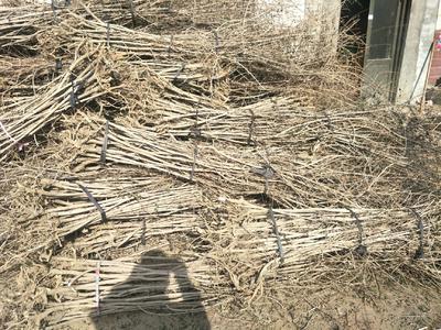 这是一张关于五角枫苗  五角枫的产品图片