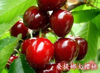 这是一张关于桑提娜樱桃苗 的产品图片