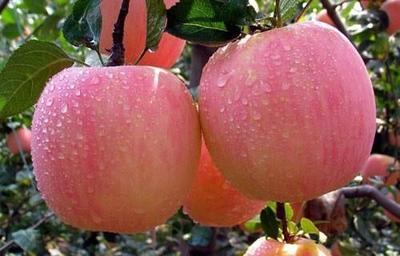 这是一张关于寒富苹果树苗 1~1.5米 的产品图片