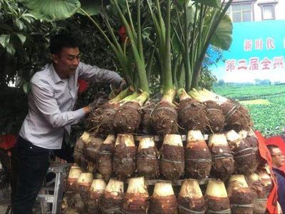 广东省韶关市乐昌市槟榔芋 6cm以上