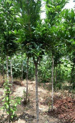 这是一张关于河阴软籽石榴树苗 的产品图片