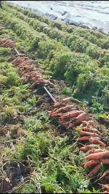这是一张关于红鑫胡萝卜 的产品图片