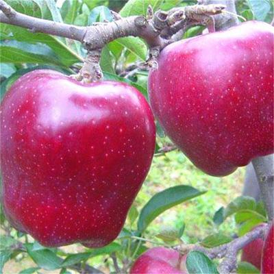 这是一张关于红星苹果树苗 1~1.5米 的产品图片