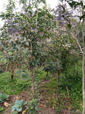 贵州省黔西南布依族苗族自治州普安县桂花树