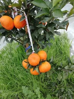这是一张关于明日见柑橘苗 嫁接苗 0.5~1米 的产品图片