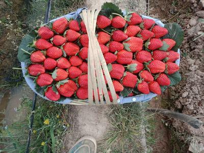 云南省楚雄彝族自治州永仁县露天草莓 20克以上
