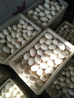 安徽省蚌埠市固镇县鲜鹅蛋 食用 散装