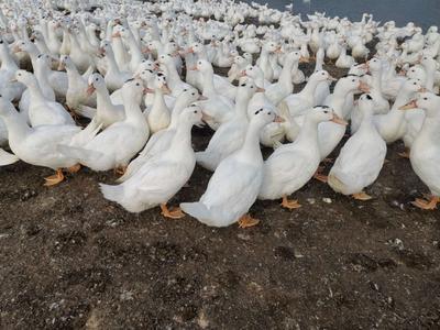 广东省湛江市遂溪县半番鸭 8-9斤 统货 半圈养半散养