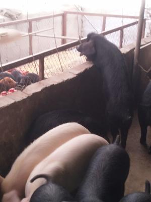这是一张关于黑猪 160-200斤 的产品图片