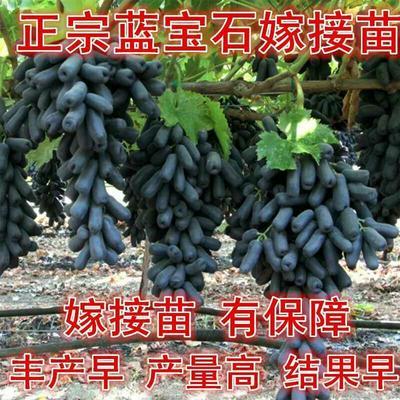 这是一张关于蓝宝石葡萄苗 苗圃直销 当年挂果的产品图片