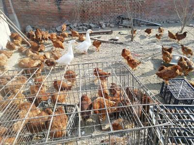 这是一张关于土鸡 3-4斤 统货 的产品图片