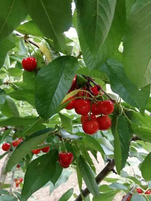 这是一张关于红灯樱桃 15-20mm 5-8g 的产品图片