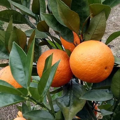 这是一张关于桂花橙 70-75mm 4-8两 的产品图片
