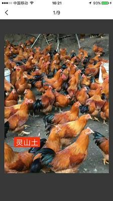 这是一张关于灵山土鸡 的产品图片