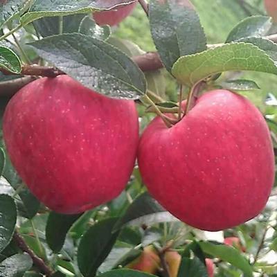 这是一张关于嘎啦苹果苗 1~1.5米 的产品图片
