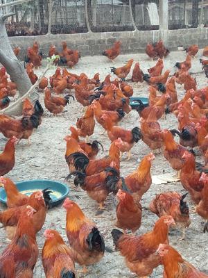 这是一张关于土鸡 5-6斤 公 的产品图片
