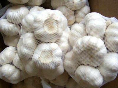 山东省济宁市金乡县白皮大蒜 6cm以上 多瓣蒜