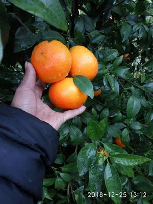 这是一张关于沃柑  统果的产品图片