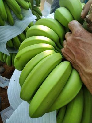 云南省西双版纳傣族自治州勐腊县西双版纳香蕉 八成熟