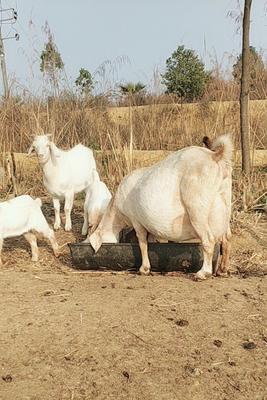 四川省眉山市东坡区波尔山羊 50-80斤