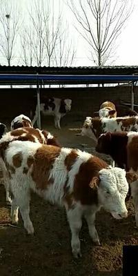 山西省忻州市忻府区西门塔尔牛 400-600斤 统货