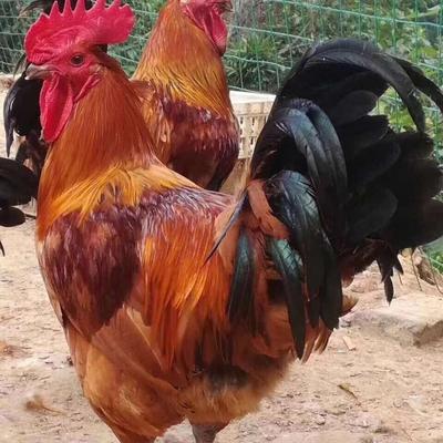 这是一张关于五黑鸡 2斤以下 统货 的产品图片
