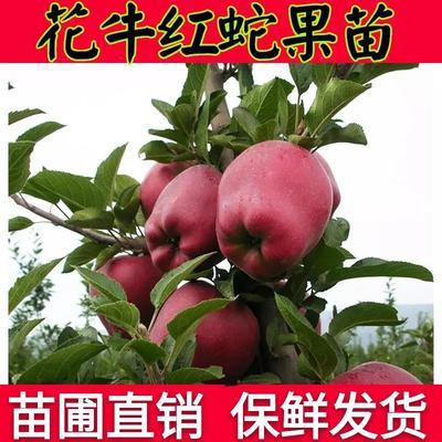 这是一张关于花牛苹果树苗 1~1.5米 的产品图片
