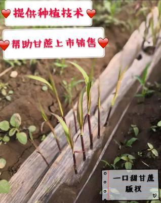 广西壮族自治区玉林市福绵区甘蔗种子
