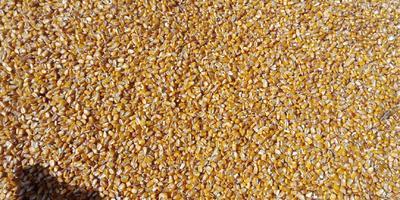 山西省太原市尖草坪区玉米干粮 杂质很少 水份14%-16%