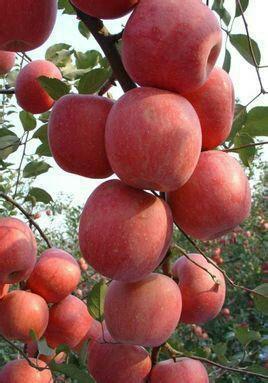 山东省烟台市蓬莱市红富士苹果 85mm以上 条红 纸袋