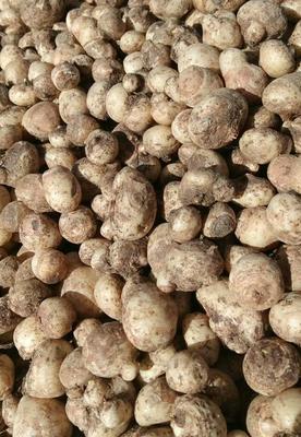 这是一张关于旱半夏种子 的产品图片