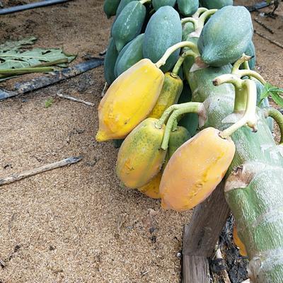 江西省赣州市瑞金市青木瓜 1.5 - 2斤