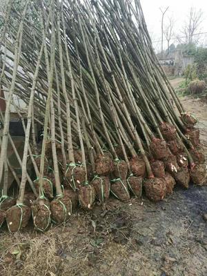 这是一张关于黄连木 的产品图片